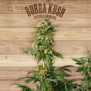 Bubba kush the plant organic seeds