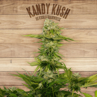 Kandy kush the plant organic seeds