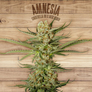Amnesia the plant organic seeds