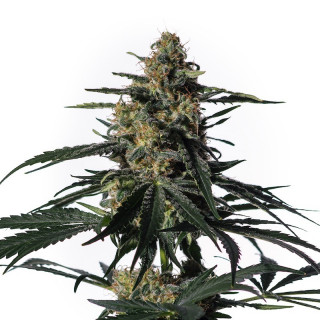Nightingale NN1 medical marijuana genetics