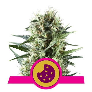 Royal cookies royal queen seeds féminisée