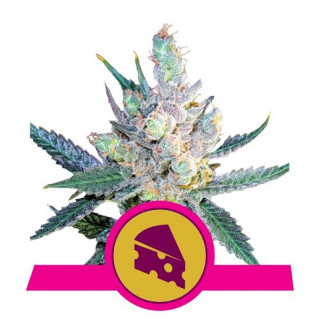 Royal cheese fast version royal queen seeds