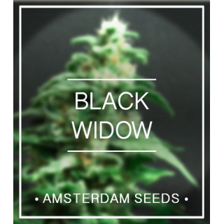 Black widow amsterdam seeds