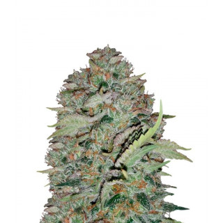 The white train Mephisto Genetics