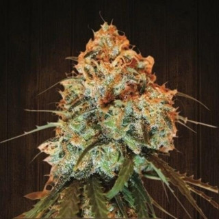 Golden Tiger Fem - Ace Seeds
