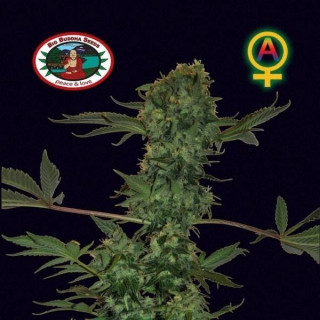 Cheese auto big buddha seeds