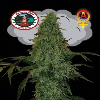 Critical mass auto big buddha seeds