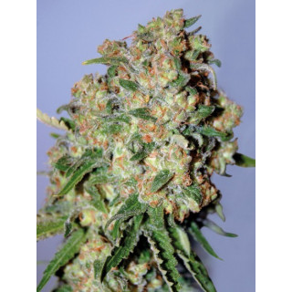 Feminized collection 2 advanced seeds