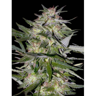 Feminized collection 4 advanced seeds