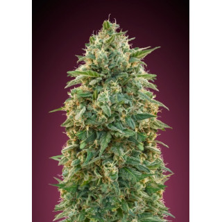 Feminized collection 5 advanced seeds