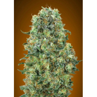 Feminized collection 6 advanced seeds