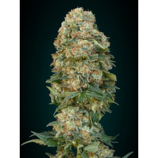 Feminized collection 1 advanced seeds