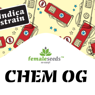 Chem OG female seeds féminisée