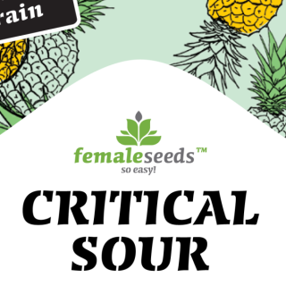 Critical sour female seeds féminisée