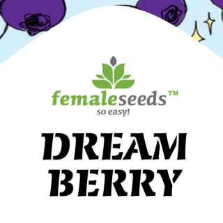 Dream berry female seeds féminisée