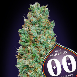 Auto blueberry 00 seeds bank