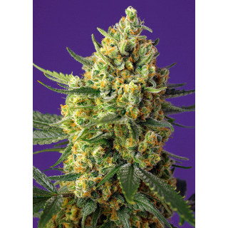 Crystal candy XL auto sweet seeds