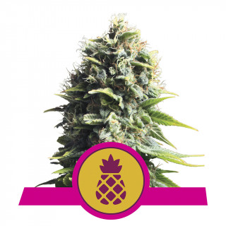 Pineapple kush royal queen seeds féminisée