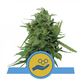 Solomatic CBD auto royal queen seeds