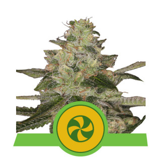 Sweet ZZ automatic royal queen seeds