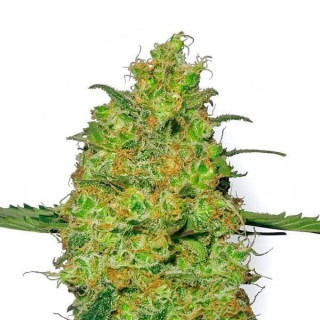 Master kush white label seeds