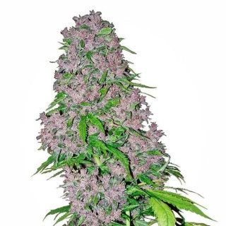 Purple bud white label seeds