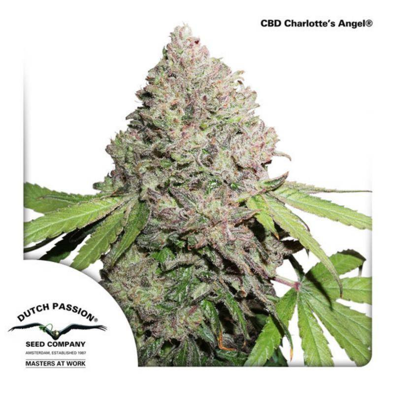 CBD Charlotte's angel dutch passion